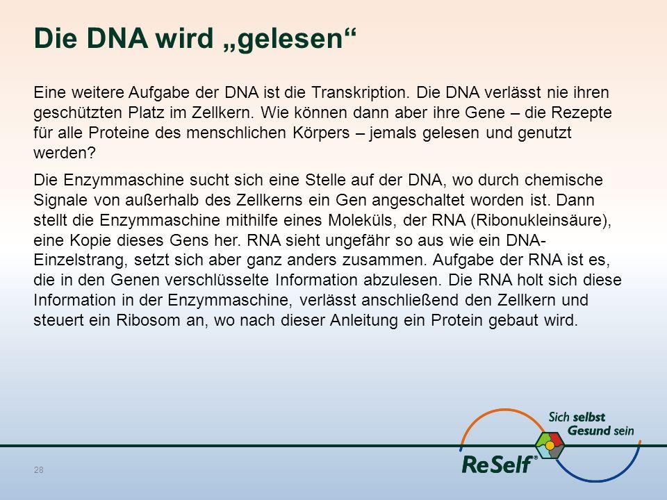 """Die DNA wird """"gelesen"""" Eine weitere Aufgabe der DNA ist die Transkription. Die DNA verlässt nie ihren geschützten Platz im Zellkern. Wie können dann a"""