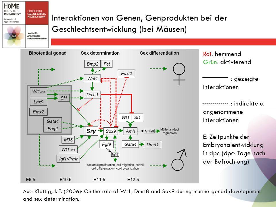 Interaktionen von Genen, Genprodukten bei der Geschlechtsentwicklung (bei Mäusen) Aus: Klattig, J.