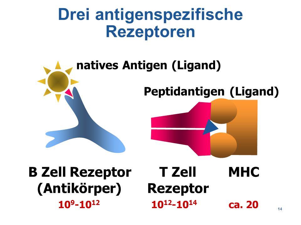 14 Drei antigenspezifische Rezeptoren B Zell Rezeptor (Antikörper) MHCT Zell Rezeptor 10 9 -10 12 10 12 -10 14 ca.