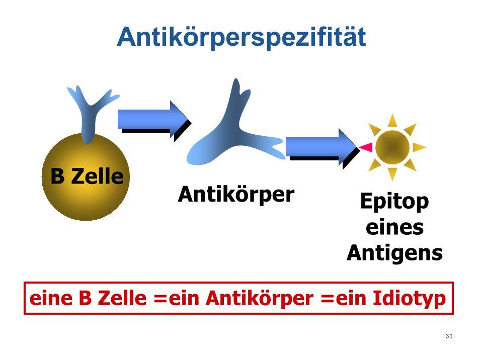 33 B Zelle Epitop eines Antigens eine B Zelle =ein Antikörper =ein Idiotyp Antikörperspezifität Antikörper