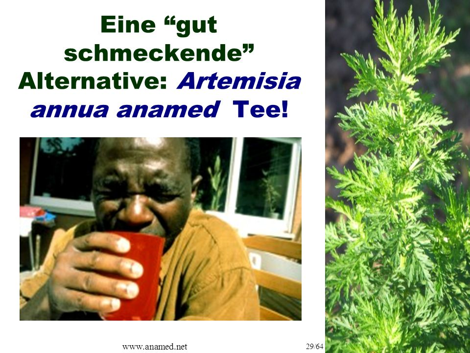 www.anamed.net 29/64 Eine gut schmeckende Alternative: Artemisia annua anamed Tee!
