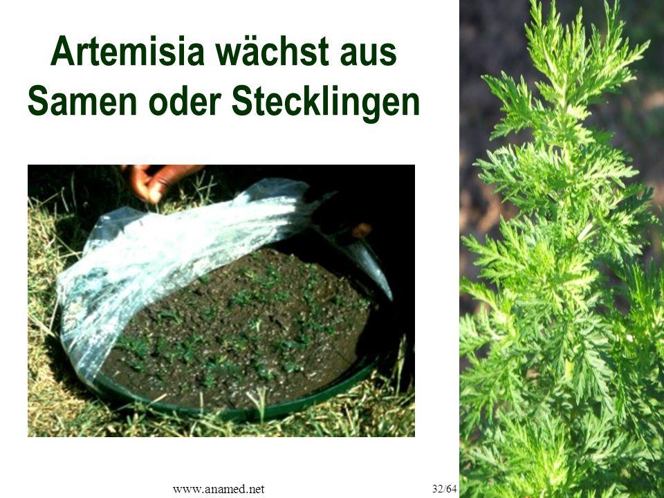 www.anamed.net 32/64 Artemisia wächst aus Samen oder Stecklingen