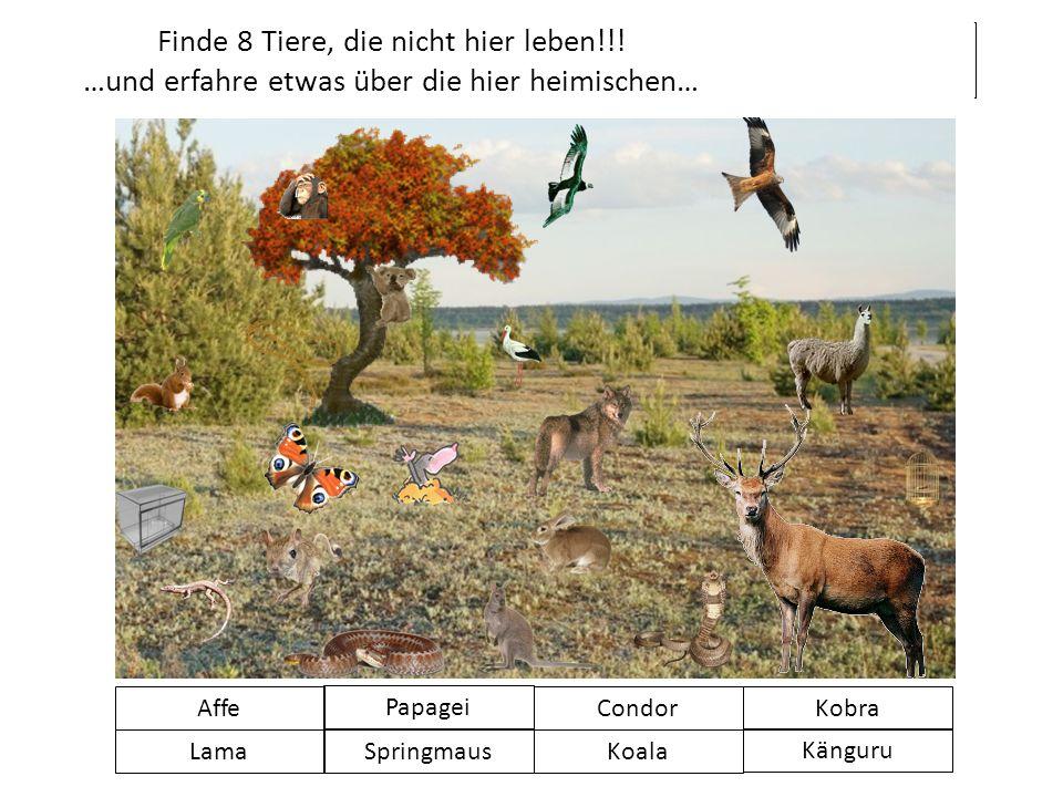 Finde 8 Tiere, die nicht hier leben!!! …und erfahre etwas über die hier heimischen… Affe SpringmausKoala Känguru Papagei CondorKobra Lama KLICK WEITER