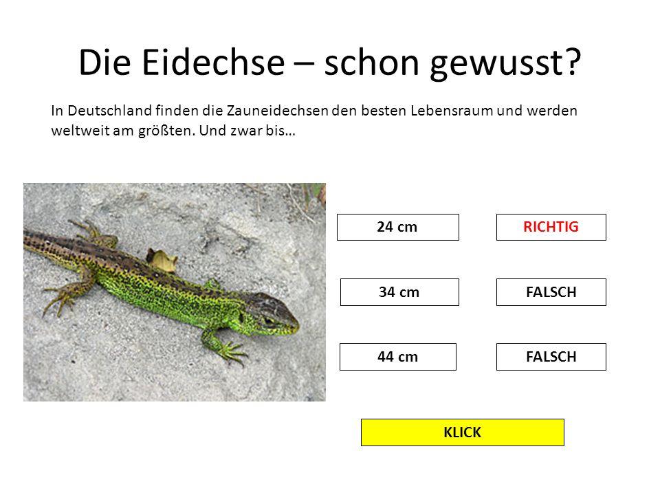 Die Eidechse – schon gewusst? KLICK In Deutschland finden die Zauneidechsen den besten Lebensraum und werden weltweit am größten. Und zwar bis… 24 cmR