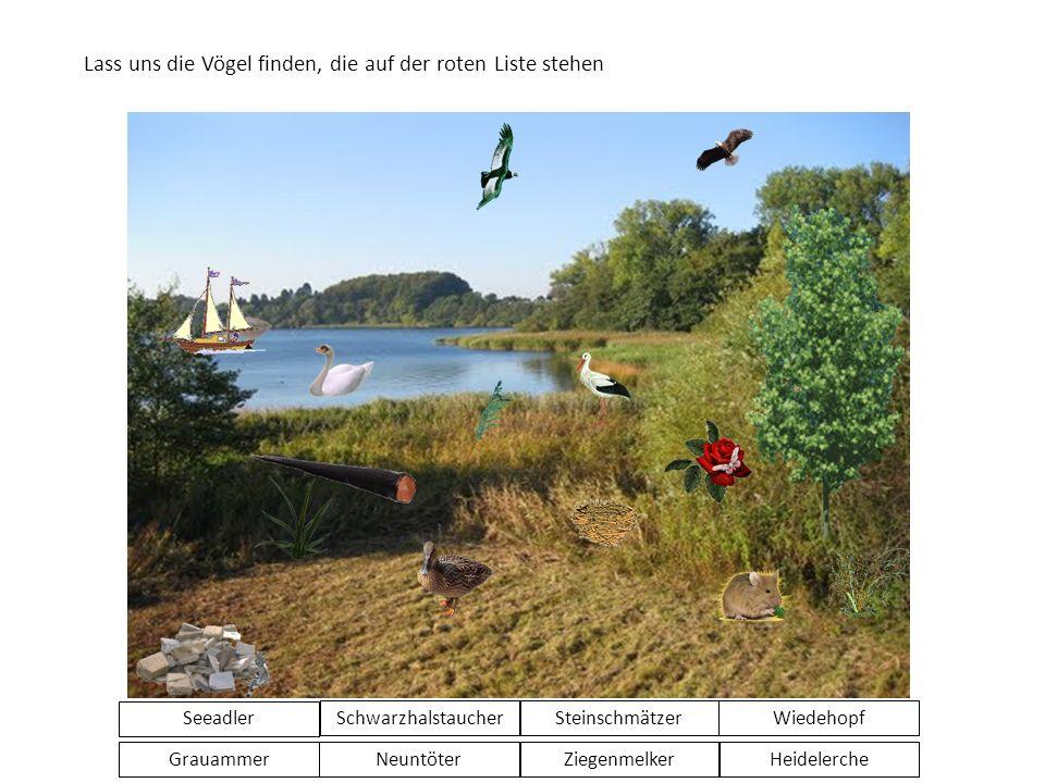 Lass uns die Vögel finden, die auf der roten Liste stehen Seeadler GrauammerNeuntöterZiegenmelkerHeidelerche SchwarzhalstaucherSteinschmätzerWiedehopf