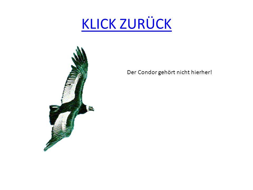 KLICK ZURÜCK Der Condor gehört nicht hierher!