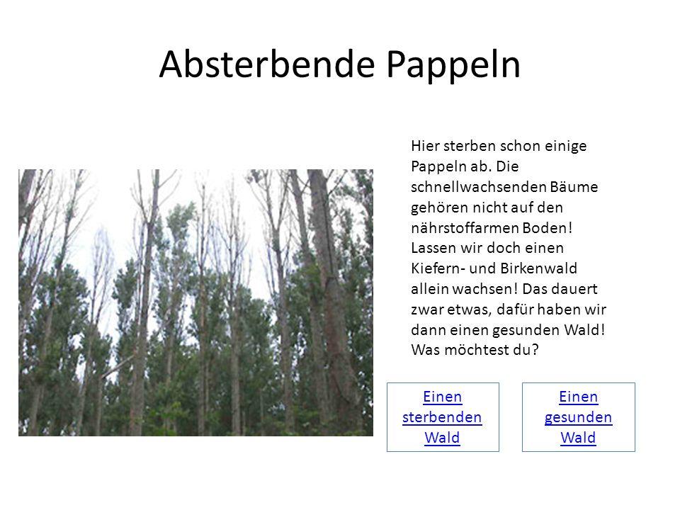 Absterbende Pappeln Hier sterben schon einige Pappeln ab. Die schnellwachsenden Bäume gehören nicht auf den nährstoffarmen Boden! Lassen wir doch eine