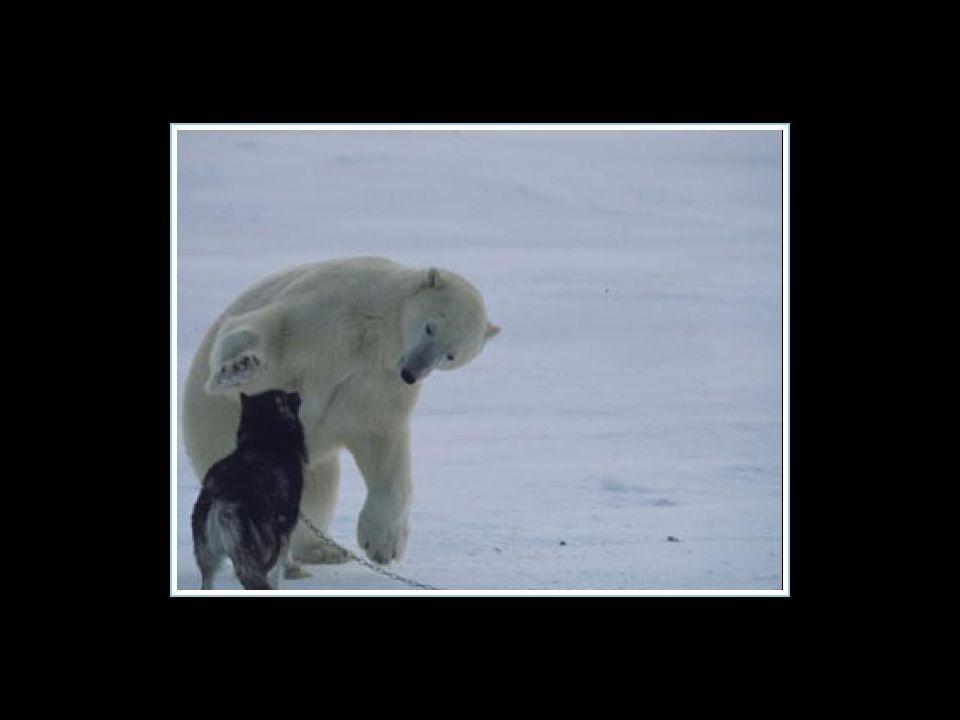 Der Eisbär ist für ein Woche jede Nacht zurückgekommen um mit den Hunden zu spielen...