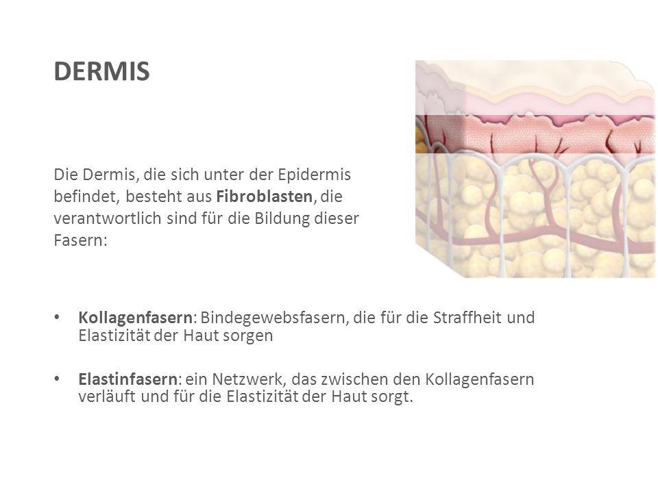 Die Dermis, die sich unter der Epidermis befindet, besteht aus Fibroblasten, die verantwortlich sind für die Bildung dieser Fasern: Kollagenfasern: Bindegewebsfasern, die für die Straffheit und Elastizität der Haut sorgen Elastinfasern: ein Netzwerk, das zwischen den Kollagenfasern verläuft und für die Elastizität der Haut sorgt.