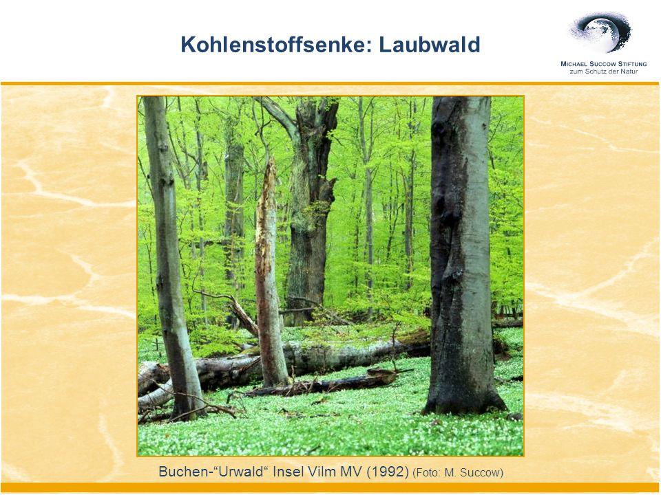 Kohlenstoffsenke: Laubwald Buchen- Urwald Insel Vilm MV (1992) (Foto: M. Succow)