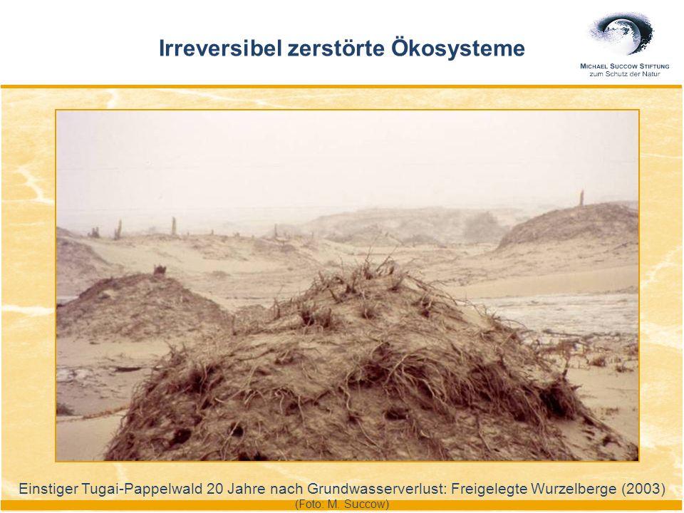 Einstiger Tugai-Pappelwald 20 Jahre nach Grundwasserverlust: Freigelegte Wurzelberge (2003) (Foto: M. Succow) Irreversibel zerstörte Ökosysteme
