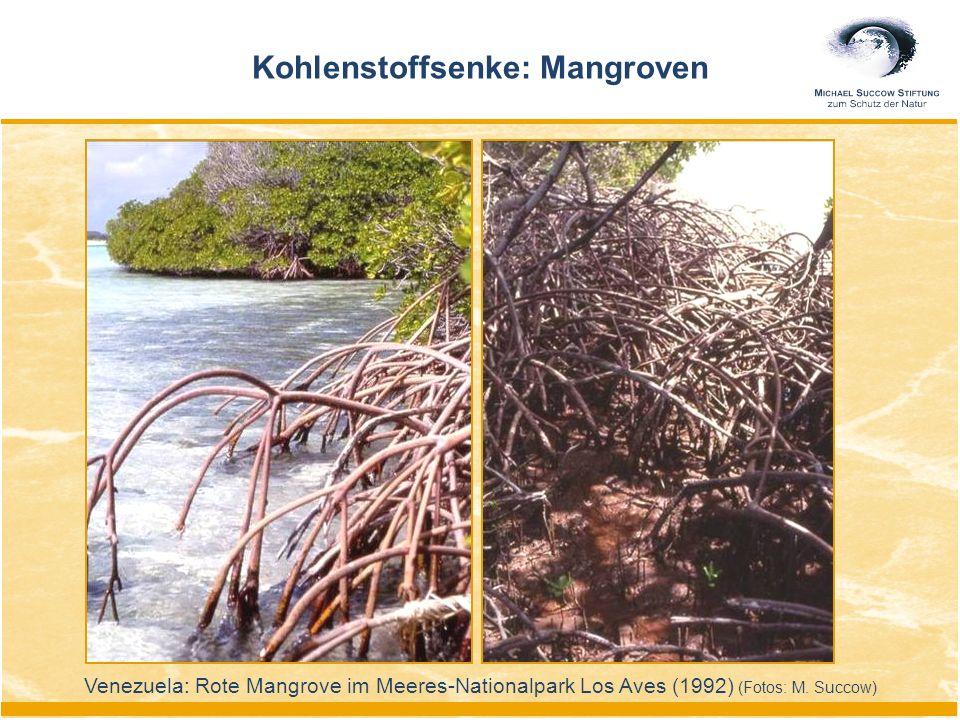Kohlenstoffsenke: Mangroven Venezuela: Rote Mangrove im Meeres-Nationalpark Los Aves (1992) (Fotos: M. Succow)