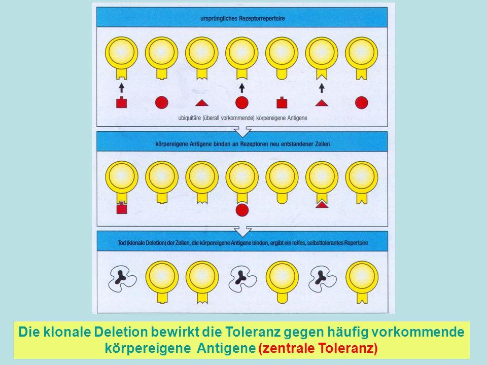 Die klonale Deletion bewirkt die Toleranz gegen häufig vorkommende körpereigene Antigene (zentrale Toleranz)