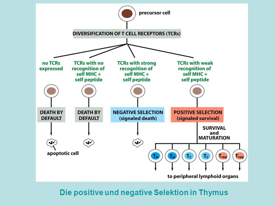 Die positive und negative Selektion in Thymus