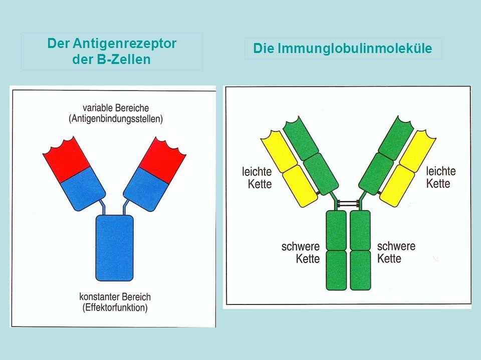 Der Antigenrezeptor der B-Zellen Die Immunglobulinmoleküle