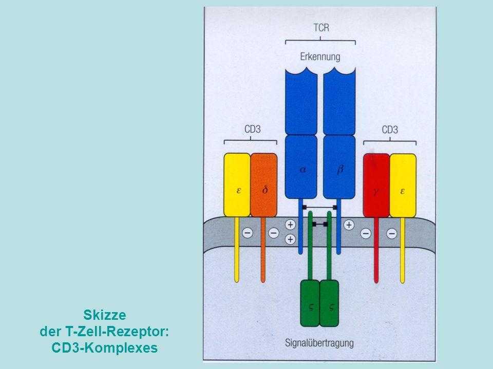 Skizze der T-Zell-Rezeptor: CD3-Komplexes