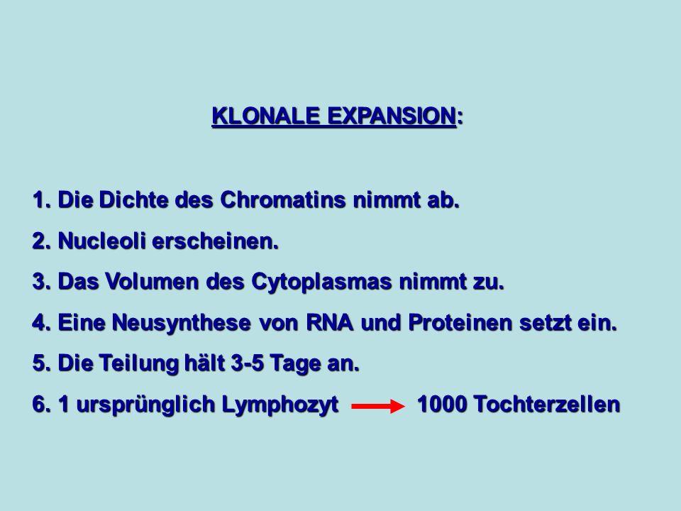 KLONALE EXPANSION: 1. Die Dichte des Chromatins nimmt ab. 2. Nucleoli erscheinen. 3. Das Volumen des Cytoplasmas nimmt zu. 4. Eine Neusynthese von RNA