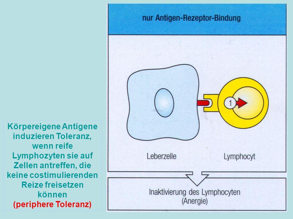 Körpereigene Antigene induzieren Toleranz, wenn reife Lymphozyten sie auf Zellen antreffen, die keine costimulierenden Reize freisetzen können (periph