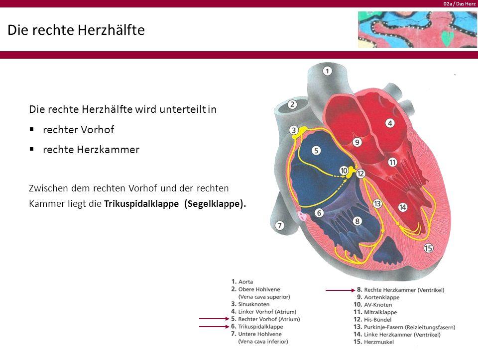 02a / Das Herz Die rechte Herzhälfte Die rechte Herzhälfte wird unterteilt in  rechter Vorhof  rechte Herzkammer Zwischen dem rechten Vorhof und der rechten Kammer liegt die Trikuspidalklappe (Segelklappe).