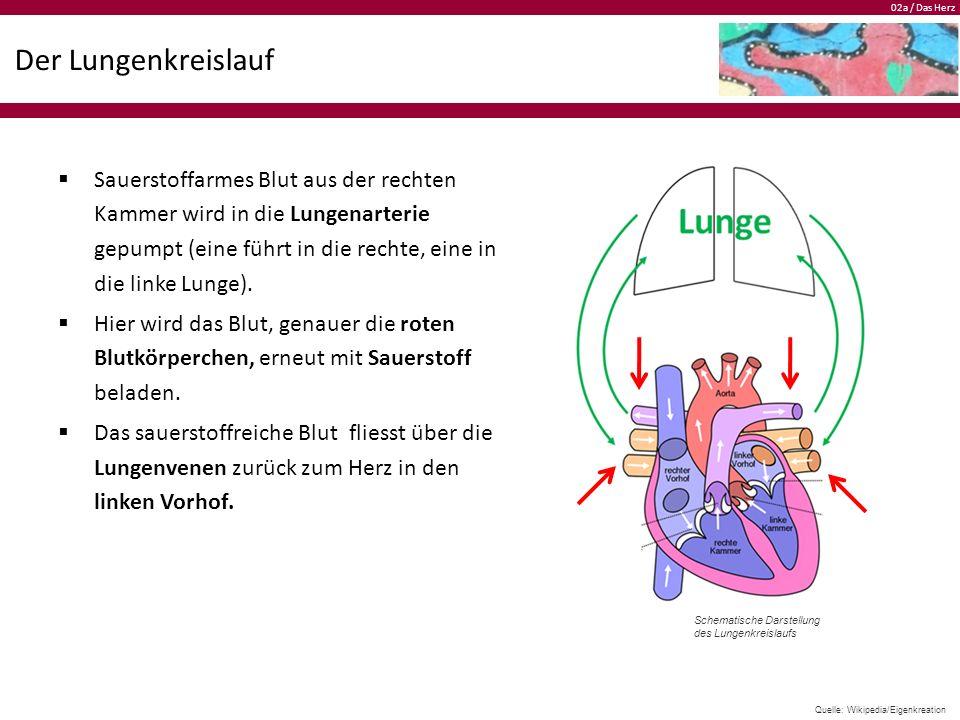 02a / Das Herz Der Lungenkreislauf  Sauerstoffarmes Blut aus der rechten Kammer wird in die Lungenarterie gepumpt (eine führt in die rechte, eine in die linke Lunge).