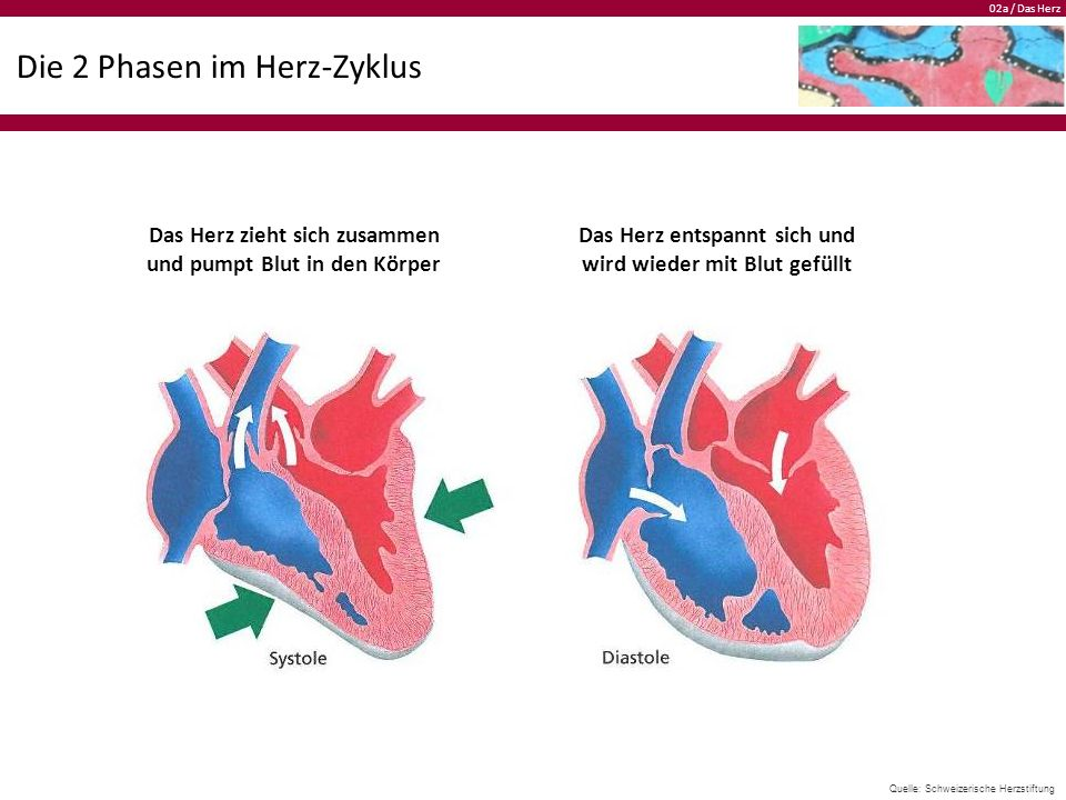 02a / Das Herz Die 2 Phasen im Herz-Zyklus Das Herz zieht sich zusammen und pumpt Blut in den Körper Das Herz entspannt sich und wird wieder mit Blut gefüllt Quelle: Schweizerische Herzstiftung