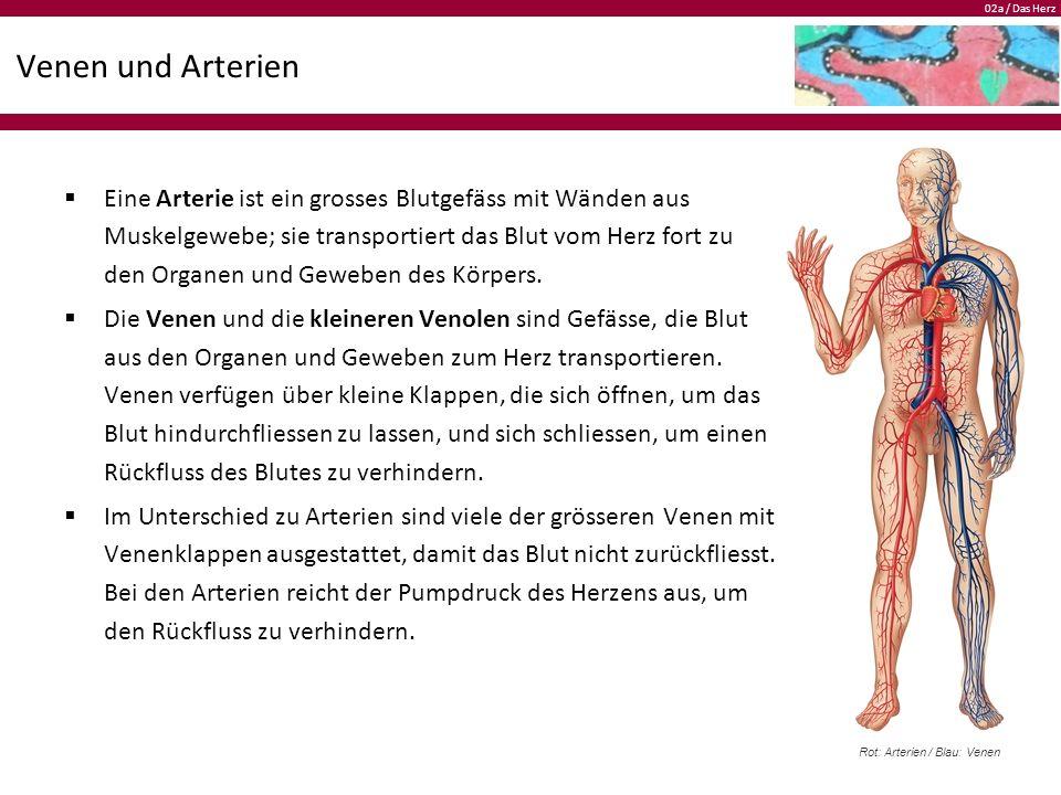 Niedlich Anatomie Des Herzens Und Der Großen Gefäße Ideen - Anatomie ...