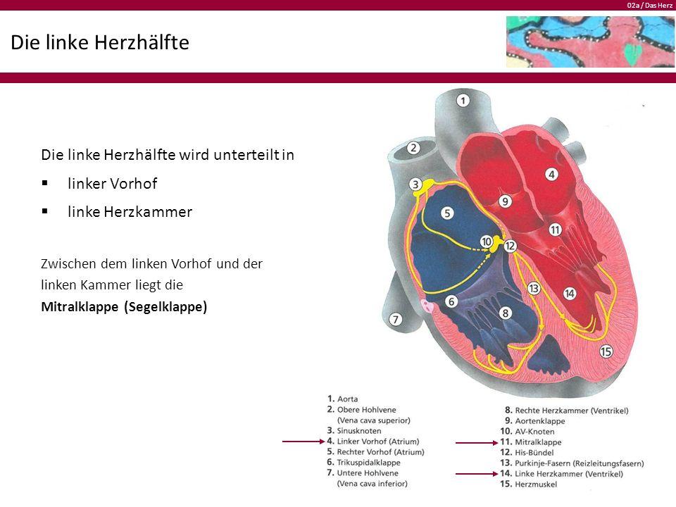 02a / Das Herz Die linke Herzhälfte Die linke Herzhälfte wird unterteilt in  linker Vorhof  linke Herzkammer Zwischen dem linken Vorhof und der linken Kammer liegt die Mitralklappe (Segelklappe)