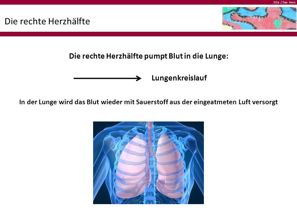 02a / Das Herz Die rechte Herzhälfte Die rechte Herzhälfte pumpt Blut in die Lunge: In der Lunge wird das Blut wieder mit Sauerstoff aus der eingeatme