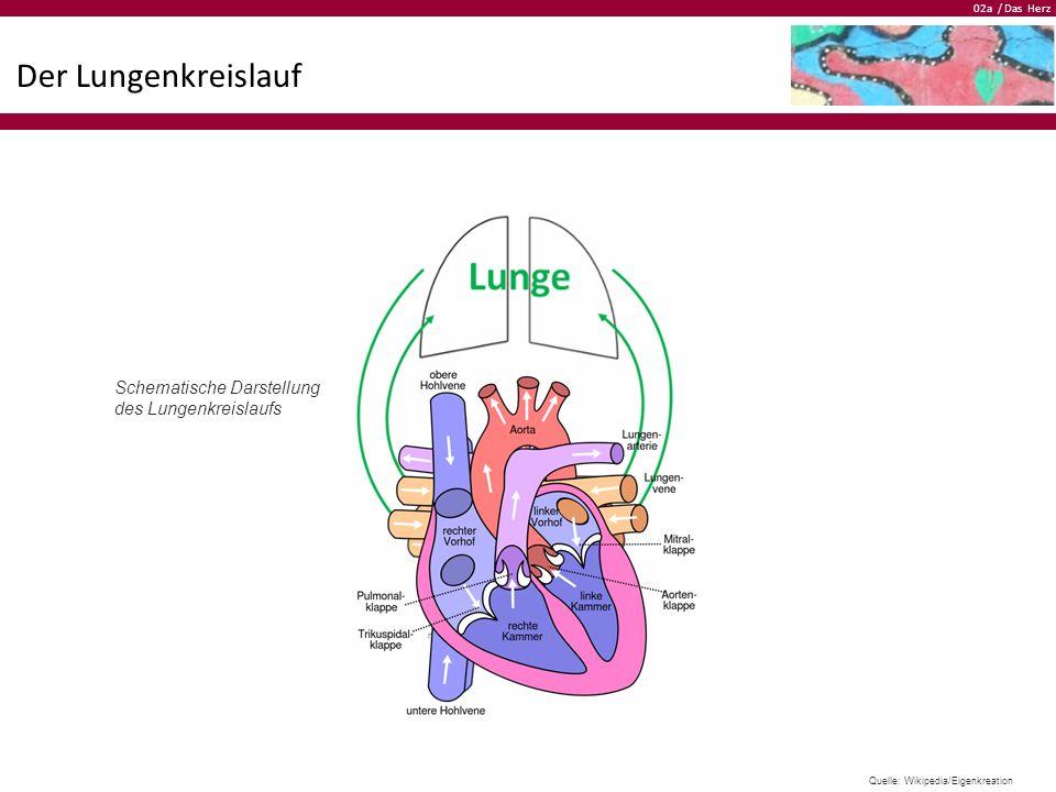 02a / Das Herz Der Lungenkreislauf Schematische Darstellung des Lungenkreislaufs Quelle: Wikipedia/Eigenkreation