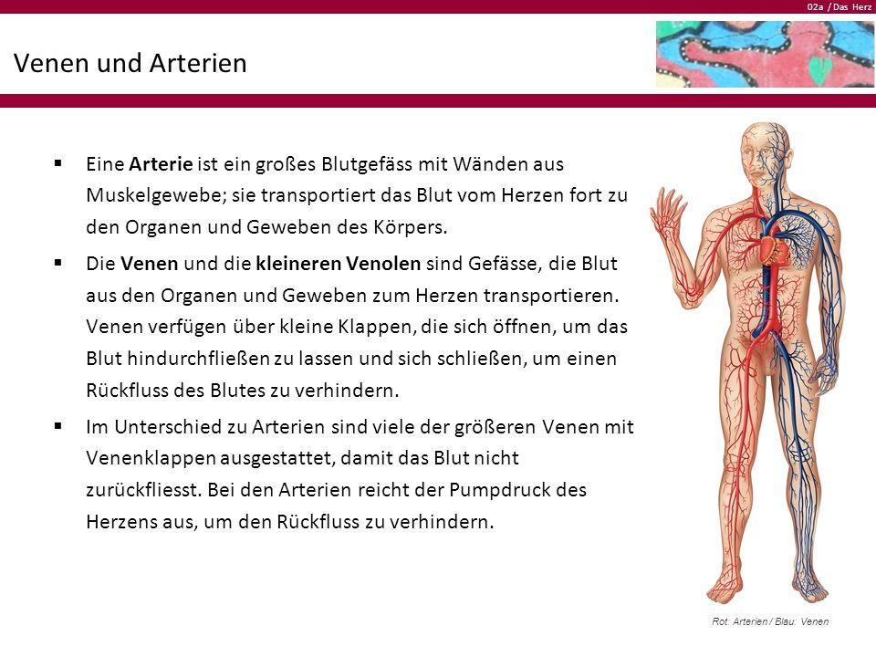 02a / Das Herz Venen und Arterien  Eine Arterie ist ein großes Blutgefäss mit Wänden aus Muskelgewebe; sie transportiert das Blut vom Herzen fort zu