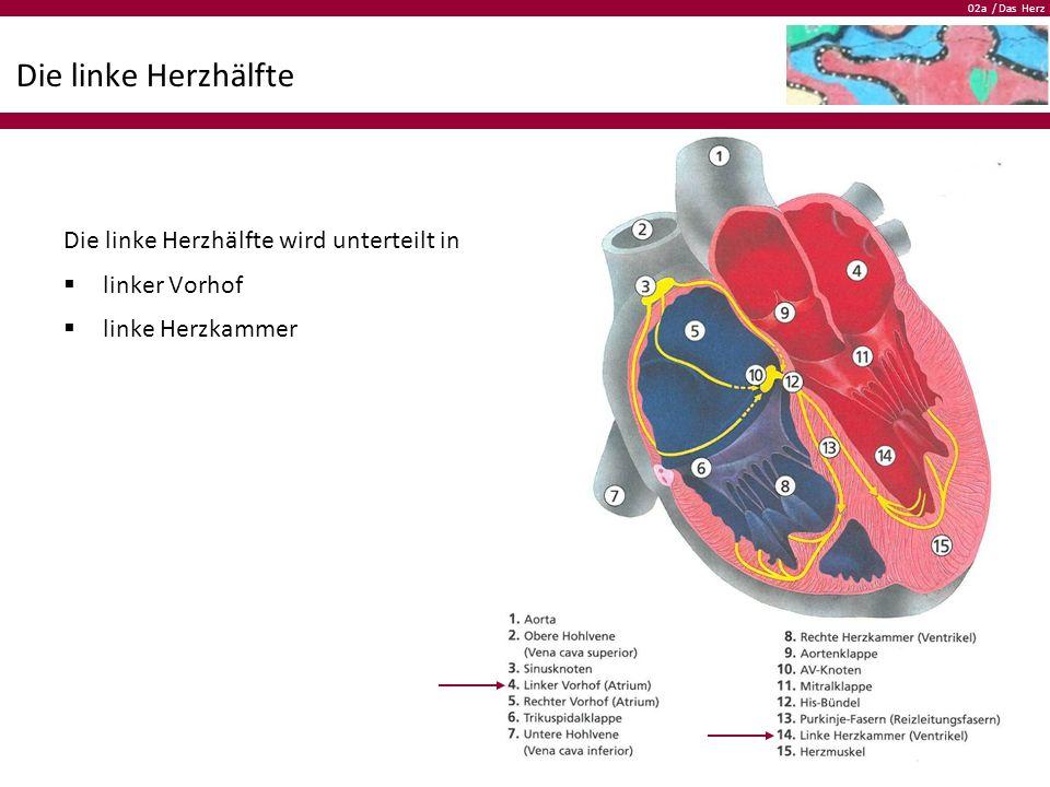 02a / Das Herz Die linke Herzhälfte Die linke Herzhälfte wird unterteilt in  linker Vorhof  linke Herzkammer