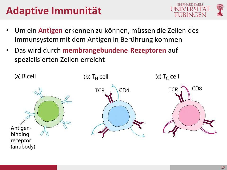 Adaptive Immunität Um ein Antigen erkennen zu können, müssen die Zellen des Immunsystem mit dem Antigen in Berührung kommen Das wird durch membrangebu