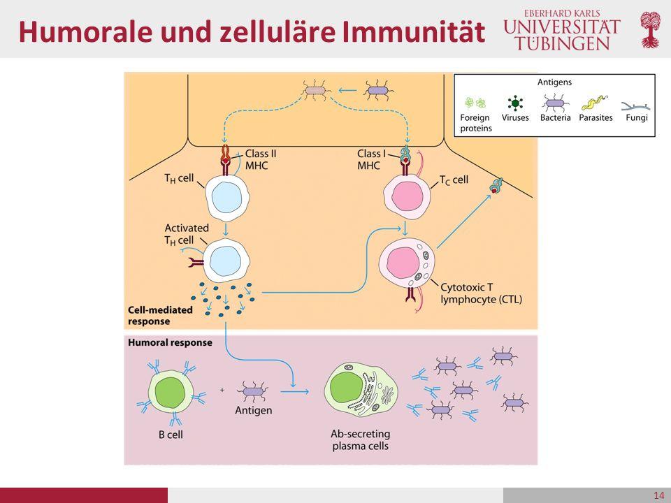 Humorale und zelluläre Immunität 14