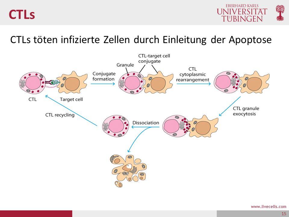 CTLs CTLs töten infizierte Zellen durch Einleitung der Apoptose www.livecells.com 15