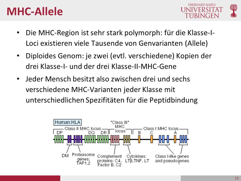 MHC-Allele Die MHC-Region ist sehr stark polymorph: für die Klasse-I- Loci existieren viele Tausende von Genvarianten (Allele) Diploides Genom: je zwei (evtl.