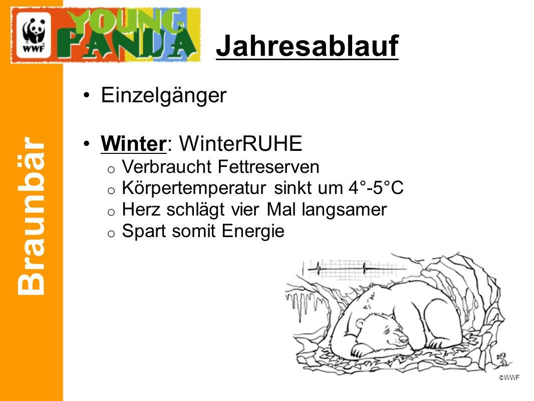 Braunbär Jahresablauf Einzelgänger Winter: WinterRUHE o Verbraucht Fettreserven o Körpertemperatur sinkt um 4°-5°C o Herz schlägt vier Mal langsamer o Spart somit Energie © WWF