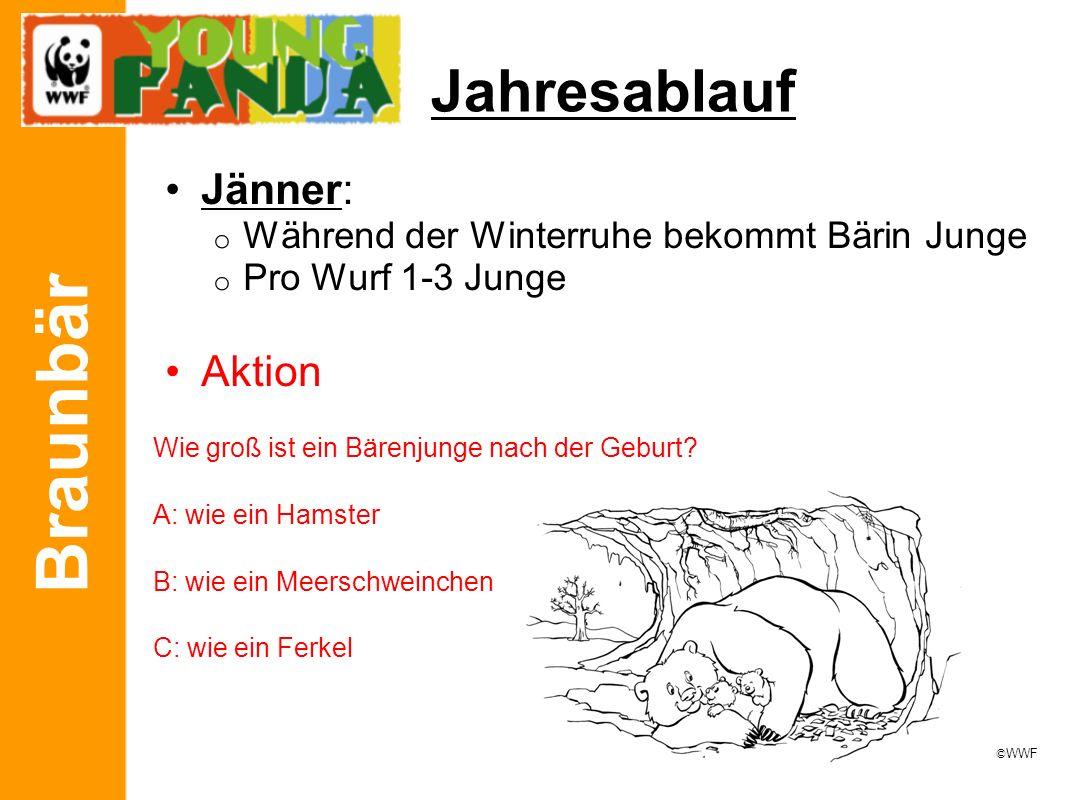 Braunbär Jahresablauf Jänner: o Während der Winterruhe bekommt Bärin Junge o Pro Wurf 1-3 Junge Aktion Wie groß ist ein Bärenjunge nach der Geburt? A: