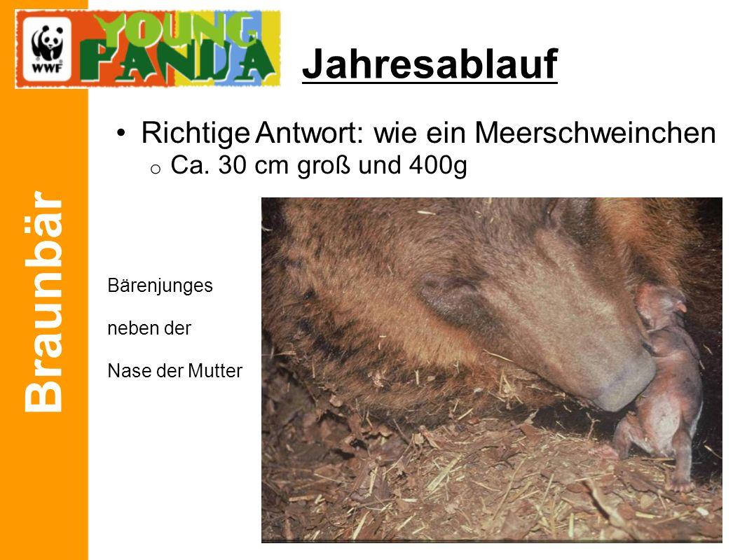Braunbär Jahresablauf Richtige Antwort: wie ein Meerschweinchen o Ca. 30 cm groß und 400g Bärenjunges neben der Nase der Mutter