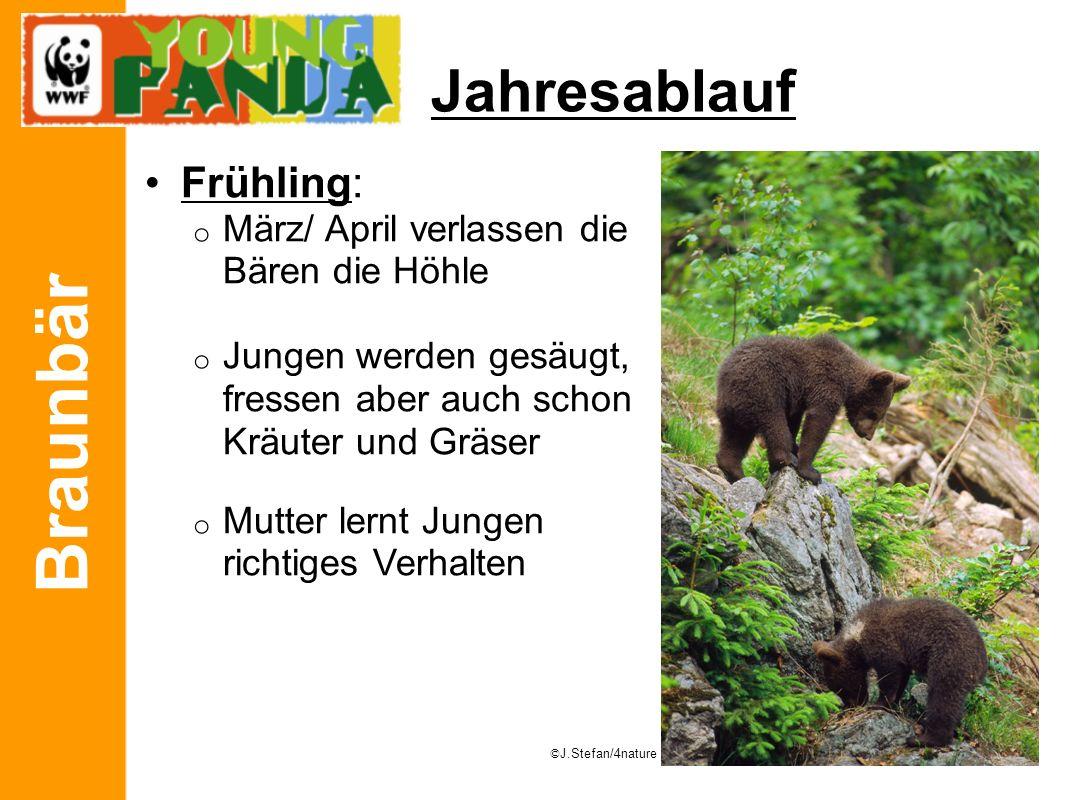 Braunbär Jahresablauf Frühling: o März/ April verlassen die Bären die Höhle o Jungen werden gesäugt, fressen aber auch schon Kräuter und Gräser o Mutt