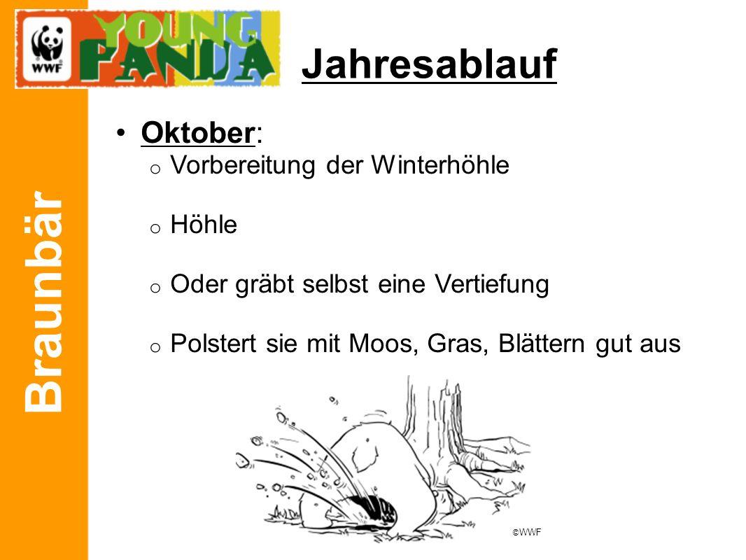 Braunbär Jahresablauf Oktober: o Vorbereitung der Winterhöhle o Höhle o Oder gräbt selbst eine Vertiefung o Polstert sie mit Moos, Gras, Blättern gut