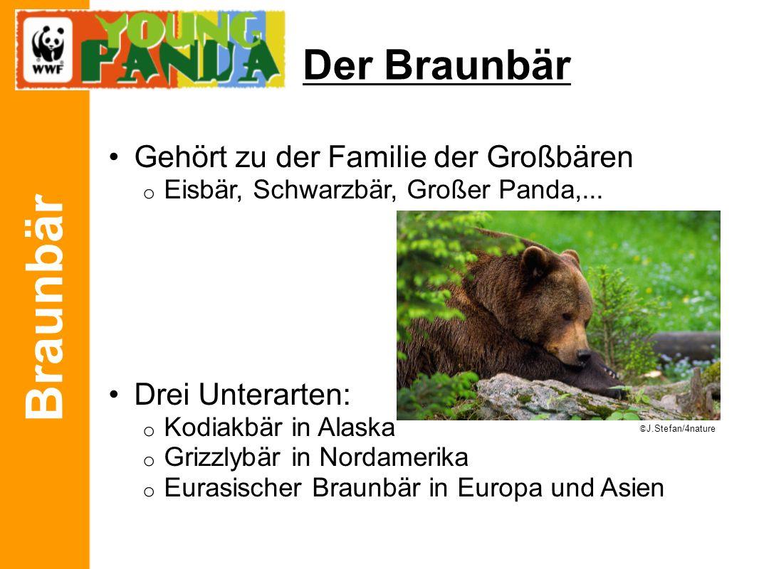 Braunbär Der Braunbär Gehört zu der Familie der Großbären o Eisbär, Schwarzbär, Großer Panda,... Drei Unterarten: o Kodiakbär in Alaska o Grizzlybär i
