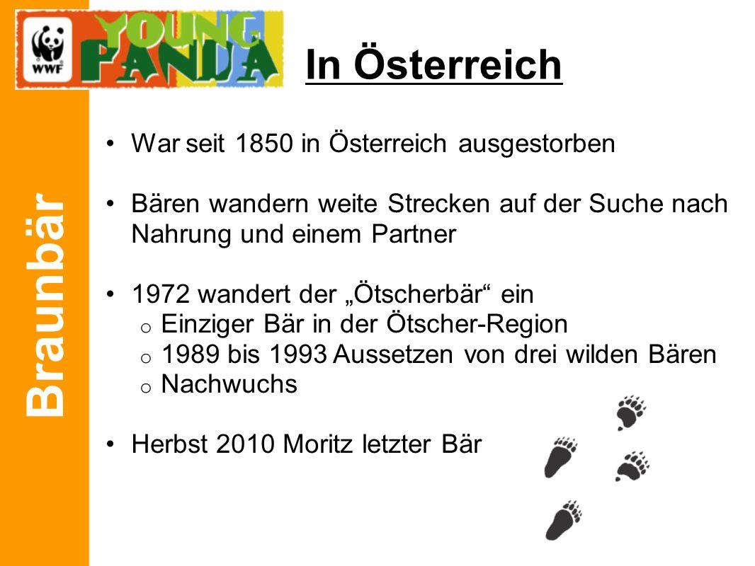 """Braunbär In Österreich War seit 1850 in Österreich ausgestorben Bären wandern weite Strecken auf der Suche nach Nahrung und einem Partner 1972 wandert der """"Ötscherbär ein o Einziger Bär in der Ötscher-Region o 1989 bis 1993 Aussetzen von drei wilden Bären o Nachwuchs Herbst 2010 Moritz letzter Bär"""