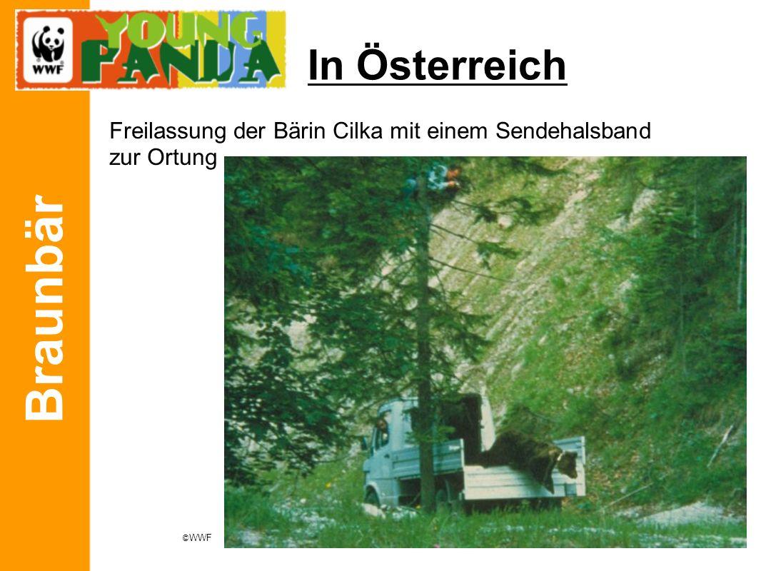 Braunbär In Österreich Freilassung der Bärin Cilka mit einem Sendehalsband zur Ortung © WWF
