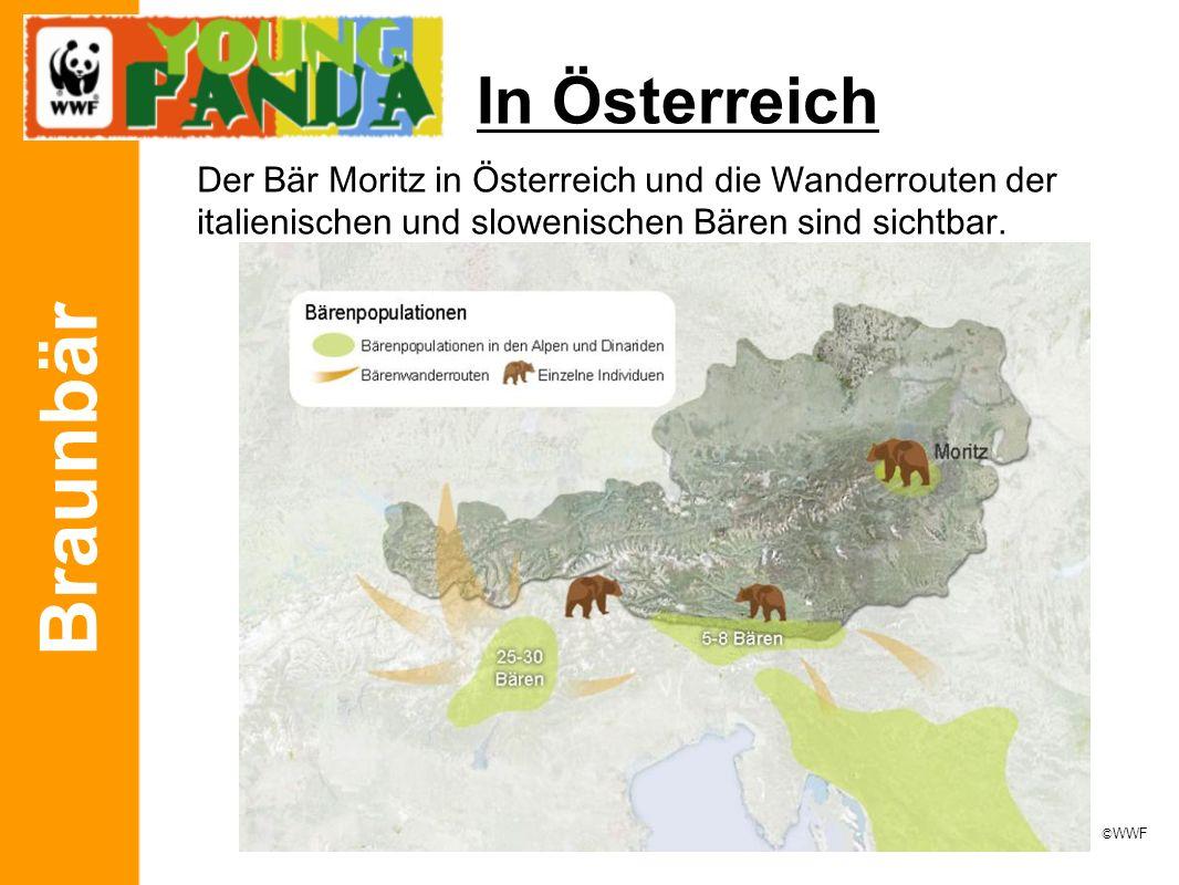 Braunbär In Österreich Der Bär Moritz in Österreich und die Wanderrouten der italienischen und slowenischen Bären sind sichtbar. © WWF