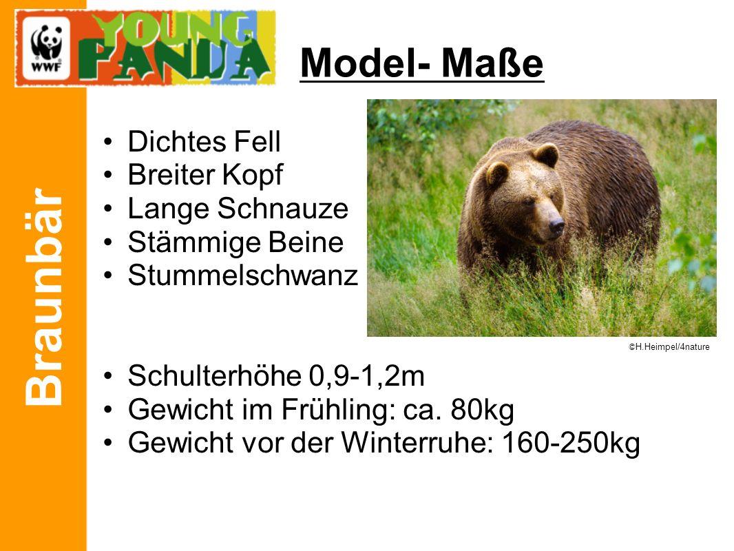 Braunbär Model- Maße Dichtes Fell Breiter Kopf Lange Schnauze Stämmige Beine Stummelschwanz Schulterhöhe 0,9-1,2m Gewicht im Frühling: ca. 80kg Gewich