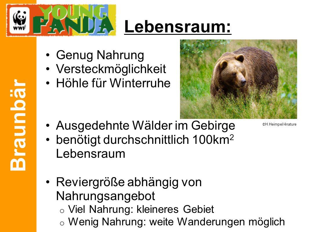 Braunbär Lebensraum: Genug Nahrung Versteckmöglichkeit Höhle für Winterruhe Ausgedehnte Wälder im Gebirge benötigt durchschnittlich 100km 2 Lebensraum