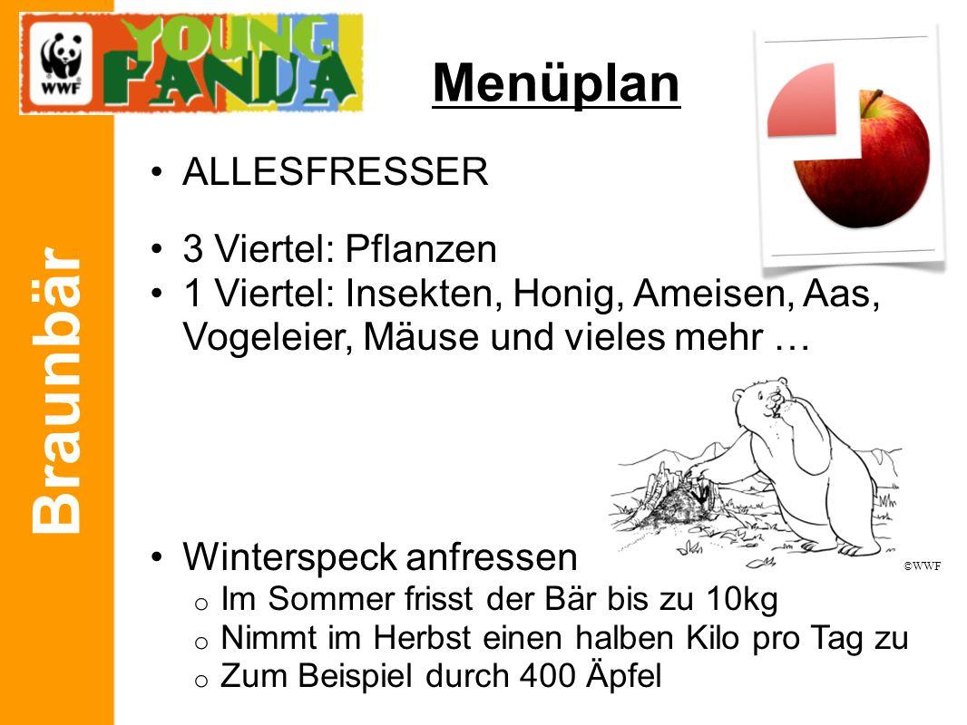 Braunbär Menüplan ALLESFRESSER 3 Viertel: Pflanzen 1 Viertel: Insekten, Honig, Ameisen, Aas, Vogeleier, Mäuse und vieles mehr … Winterspeck anfressen
