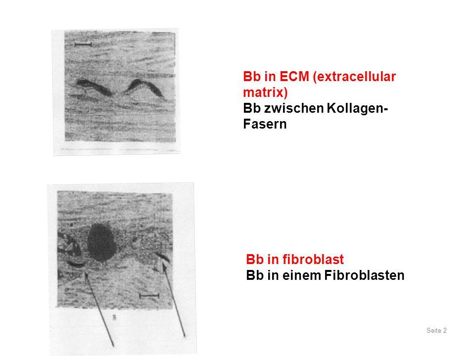 Seite 2 Bb in ECM (extracellular matrix) Bb zwischen Kollagen- Fasern Bb in fibroblast Bb in einem Fibroblasten