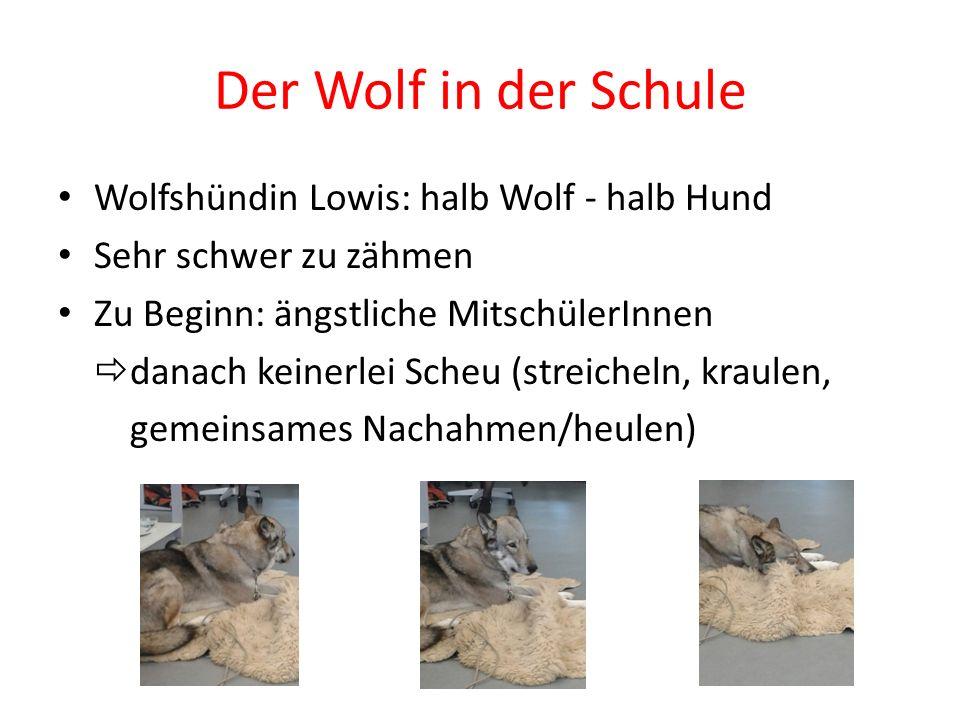 Der Wolf in der Schule Wolfshündin Lowis: halb Wolf - halb Hund Sehr schwer zu zähmen Zu Beginn: ängstliche MitschülerInnen  danach keinerlei Scheu (streicheln, kraulen, gemeinsames Nachahmen/heulen)