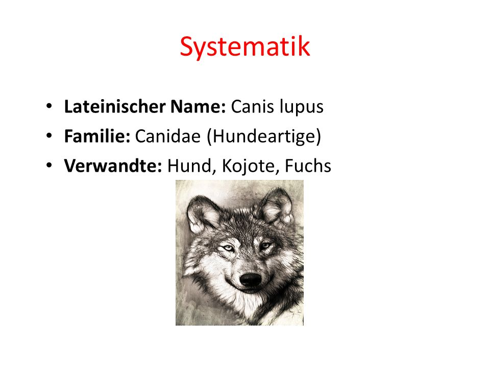 Systematik Lateinischer Name: Canis lupus Familie: Canidae (Hundeartige) Verwandte: Hund, Kojote, Fuchs